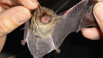 Hallaron cientos de nuevos coronavirus en murciélagos