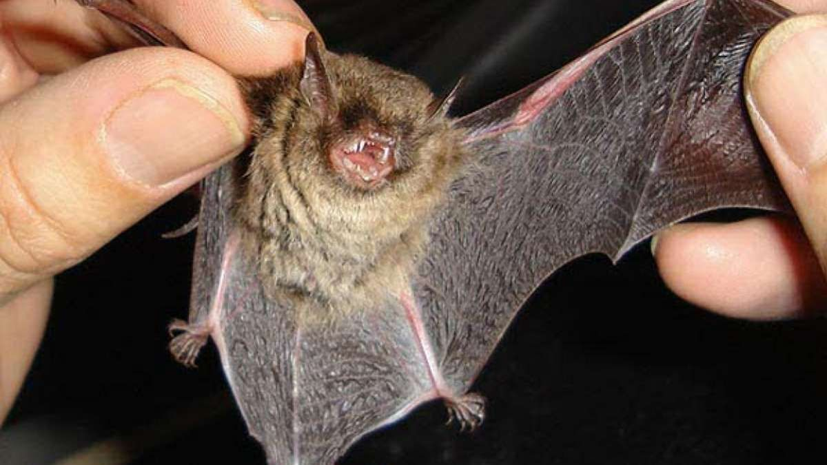 Hallaron cientos de nuevos coronavirus en murciélagos en China